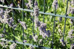 Lavender flowers and grid in the garden Stock Photos