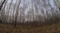 Birch forest, view from below. trees are turned Stock Footage