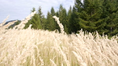 The seed heads of tall grasses moving and swaying in the wind Stock Footage