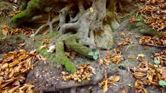 Rhizome of beech in a rocky area. Stock Footage