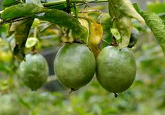 Passion fruit on the plant Stock Photos