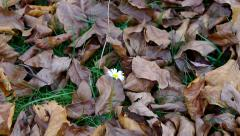 Bloom daisy midst spotted leaves. Stock Footage