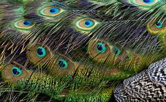 Bird feathers. Peacock - stock photo