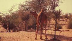 Dromedary camel walks with legs tied amid desert landscape Stock Footage