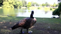 Canada goose (Branta canadensis) on lakeside Stock Footage
