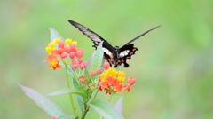 Butterfly feeding on wildflowers. Stock Footage