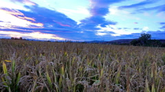 4k ears of wheat, rice, rye at dawn, sony 4k steadycam shoot Stock Footage