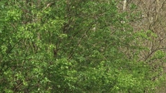 Foliage + zoom out old growth oak lane in rural landscape. Stock Footage