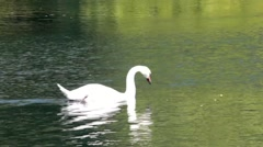 White swan on the bright sunlight floating on the lake with green water - stock footage