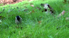 Willow tit - slow motion Stock Footage