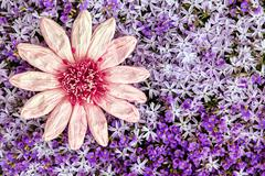 greeting card pink paper flower with a sea of purple blooms - stock photo