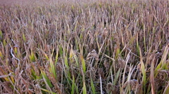 Landscape of rice farm in thailand.: steadycam shot .high quality footage, so Stock Footage