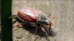 chafer beetle flew - stock footage