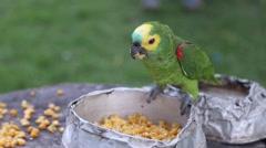 Green Parrot feeding corn Stock Footage