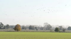 Common Crane flying above a field Stock Footage