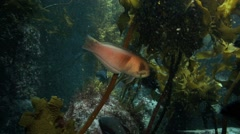 Sandager's wrasse feeding on kelp at Poor Knights Islands Stock Footage