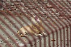 white lion roar in a cage - stock photo