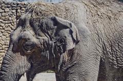 close up image of captuive elephant - stock photo