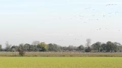 Flock of Common Crane Stock Footage