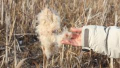 human hand takes the fluff from ripened and dried cattail flower - stock footage