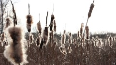 Several withered flowers of broadleaf cattail in backlight, flying fluff Stock Footage