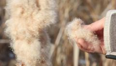 Human hand takes the fluff from dried cattail flower, closeup Stock Footage