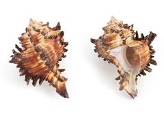seashell on white background - stock photo