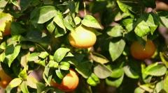 Single mandarins on tree - stock footage
