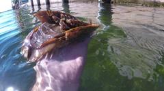 Horseshoe Crab Stock Footage