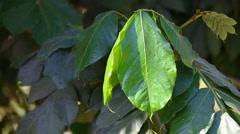 Big green leaf Stock Footage