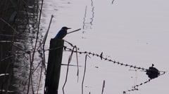 Wildlife Kingfisher sitting on a fence post at dusk flys away nature background Stock Footage