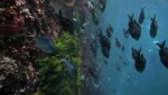 Schools of fish swimming underwater at Poor Knights Island Stock Footage