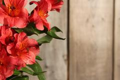 pink peruvian lily on wooden background - stock photo