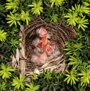chicks hatchling nest - stock photo