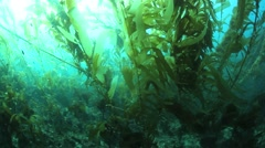 Giant Kelp Underwater Stock Footage