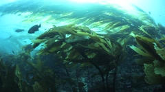 California Kelp Forest Stock Footage