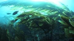 California Kelp Forest Stock Footage