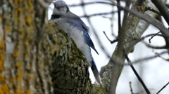Blue Jay (Cyanocitta cristata) grooming while perched on tree trunk Stock Footage