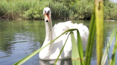 Magnificent White Swan on a Lake Pond 3 reeds in foreground - stock footage