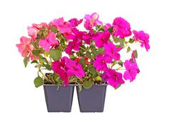 purple- and pink-flowered impatiens seedlings ready for transplanting - stock photo