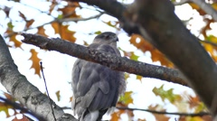 Cooper's hawk (Accipiter cooperii) closeup while perched on a branch Stock Footage