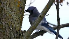 Blue Jay (Cyanocitta cristata) feeding on small bugs off of tree bark Stock Footage