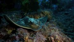 Eagle ray resting on ocean floor Stock Footage