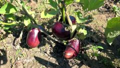 4k vegetables, eggplant, aubergine, camera steadycam, sony steadycam shoot Stock Footage