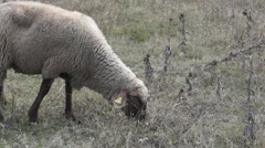 Sheep eating grass, dumb looking face Stock Footage