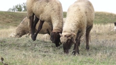 Sheeps eating grass with a hill in background Stock Footage
