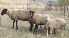 Sheeps group curious looking around Stock Footage