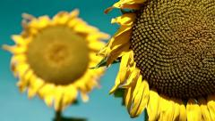 Sunflowers Renewable Clean Energy Power Concept  Environment Planet Earth Stock Footage