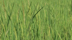 Rice spike in the farm Stock Footage