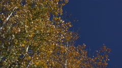 4K Aspen Trees Quaking Leaves Blue Sky Stock Footage